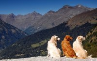Image For Golden Retriever Dog Breed Information Pictures