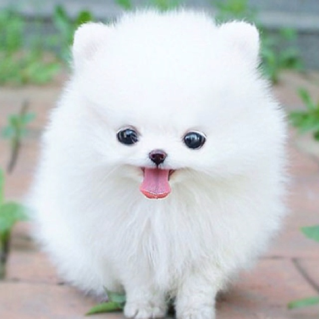 Pictures Of Teacup Dogs Wwwimgkidcom The Image Kid
