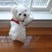 cute white teacup dog - Dog Breeders Guide