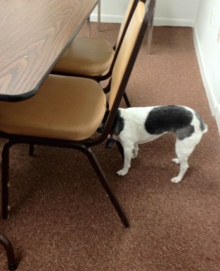 Dog with dementia with head under chair