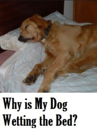 why do dogs pee on the bed - 28 images - why would my dog ...