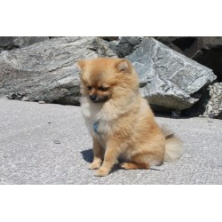 Small Crop Of Corgi Pomeranian Mix
