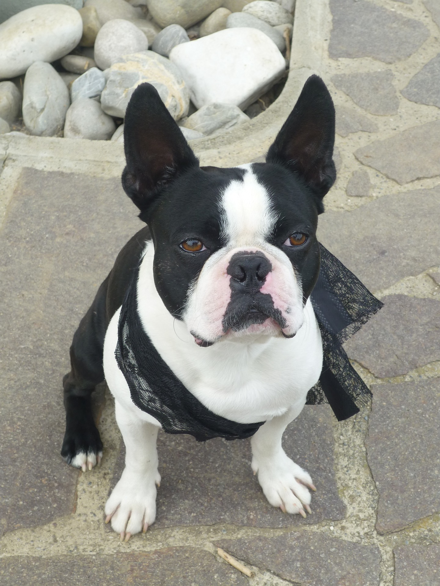 Image For What Are The Best Puppy Foods For Boston Terrier