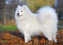 Small Of Samoyed Husky Mix
