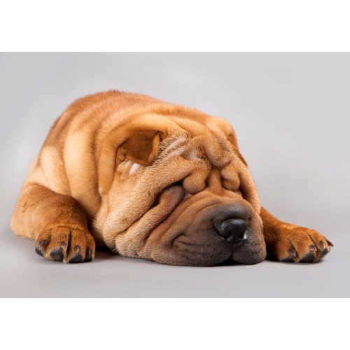 Medium Crop Of Miniature Shar Pei
