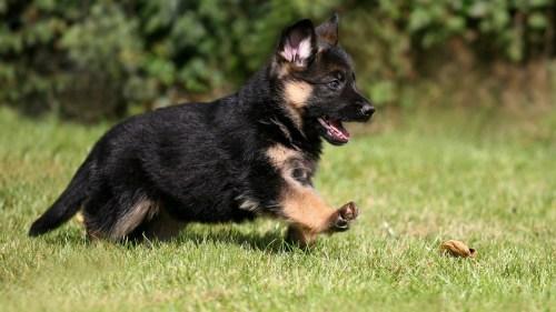 Medium Of Cute German Shepherd Puppies