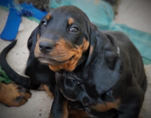 Coon Hound puppy smiling