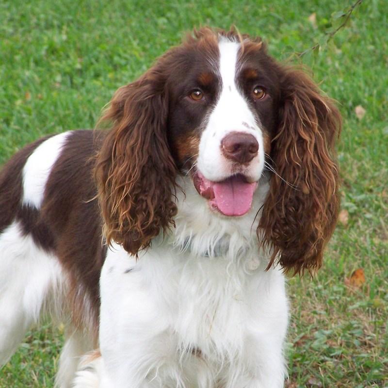 Large Of English Dog Breeds