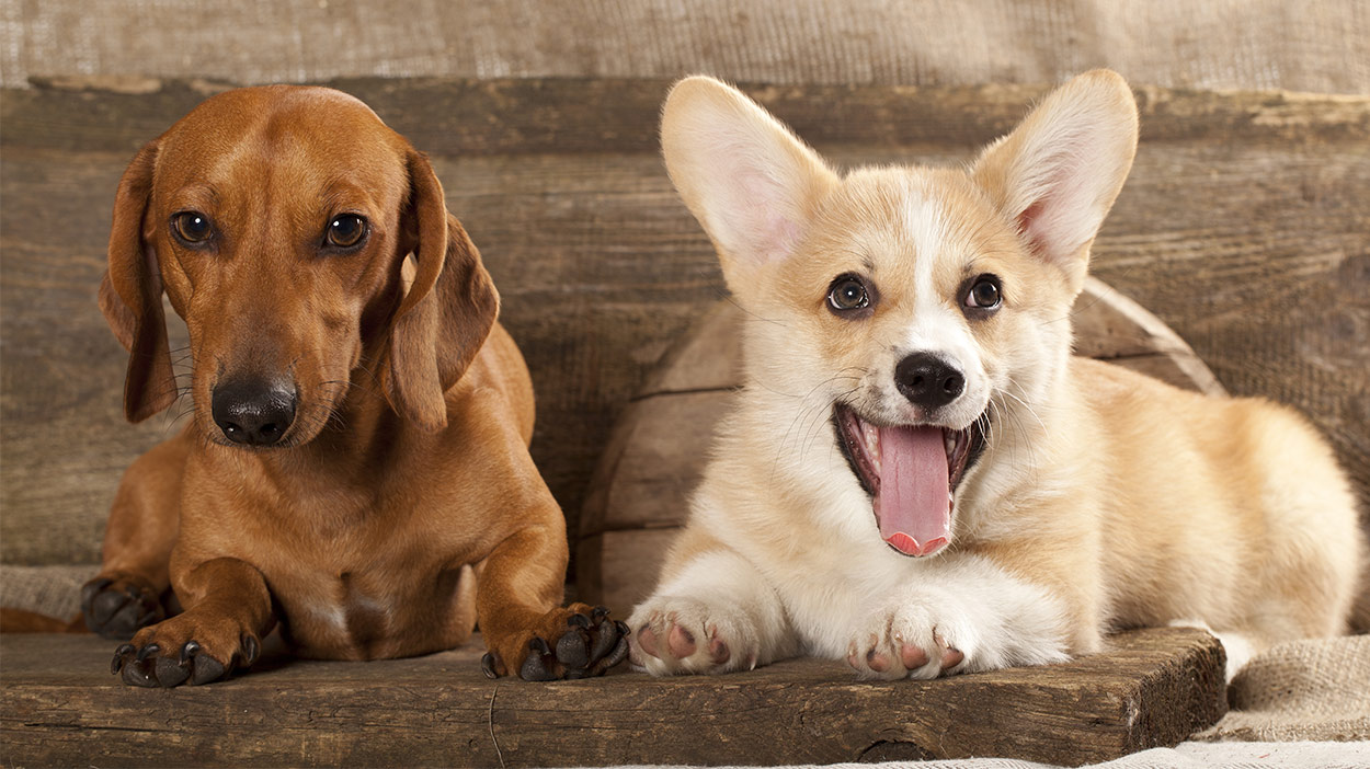 Fullsize Of Corgi Mix Puppies For Sale