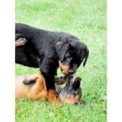 Small Crop Of Rottweiler Corgi Mix