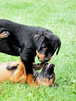 Small Of Rottweiler Corgi Mix