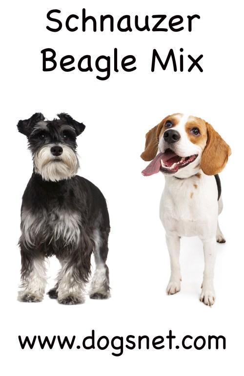 Medium Of Beagle Corgi Mix