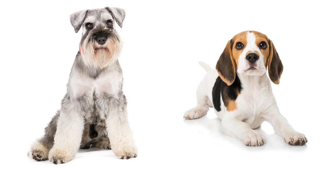 Dining Schnauzer Beagle Beagle Mix Schnauzer Beagle Mix Mix Miniature Schnauzer Beagle Corgi Mix Weight Beagle Corgi Mix Price bark post Beagle Corgi Mix