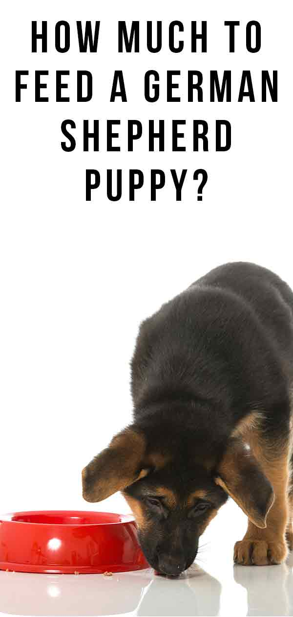 How Much to Feed a German Shepherd Puppy Our Guide