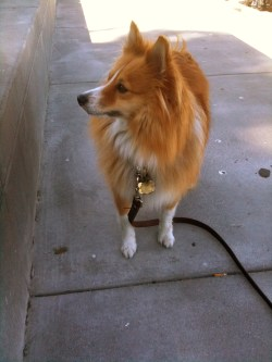 Small Of Corgi Pomeranian Mix