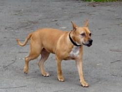 Small Of Chihuahua Pitbull Mix
