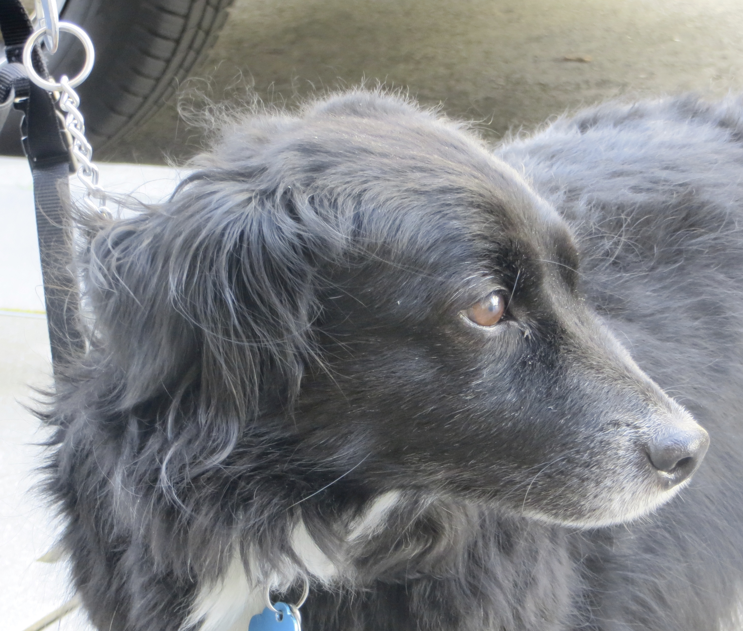 Voguish Black Border Collie Mix Short A Brown S All If You Change Your Be Right Corgi Border Collie Mix Sale Corgi Border Collie Mix Traits bark post Corgi Border Collie Mix