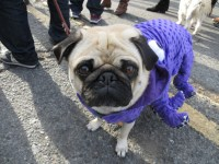 Dog of the Day: Pug in a Purple Octopus Costume - The Dogs ...