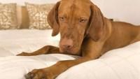 Top 5 Best Dog Beds for Vizslas in 2018 | DogStruggles