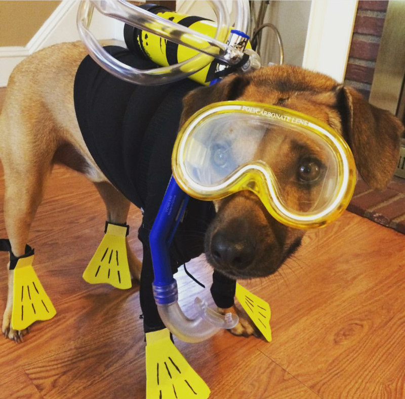 Cute Dachshund Wallpaper Scuba Diver Dog Costume Goldenacresdogs Com