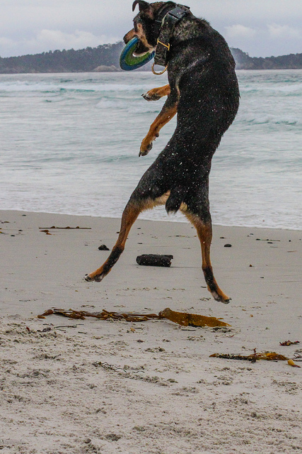 Mort the dog, a kelpie, catching a frisbee