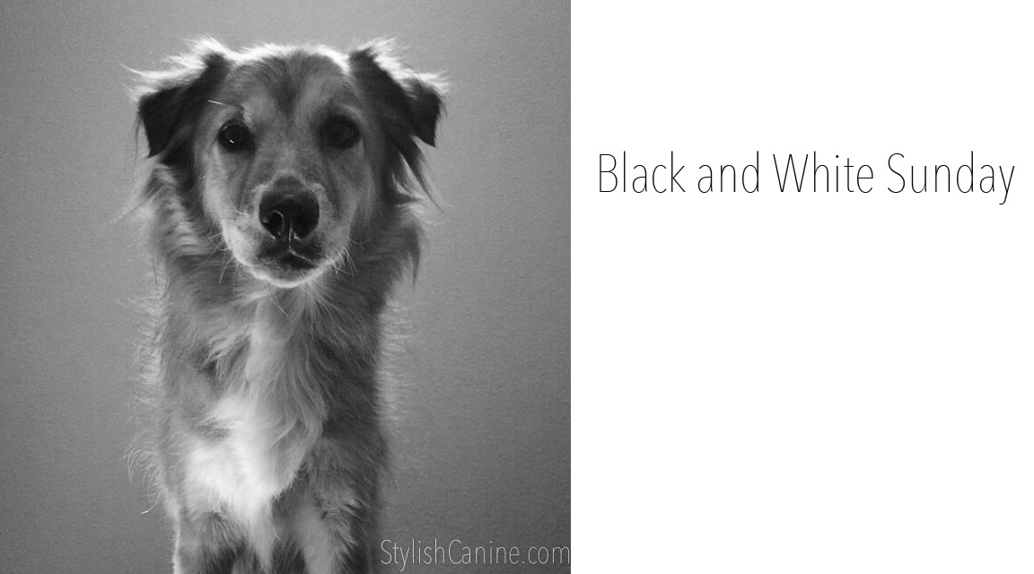 The profile of mysterious Tig for Black and White Sunday #dogphotos