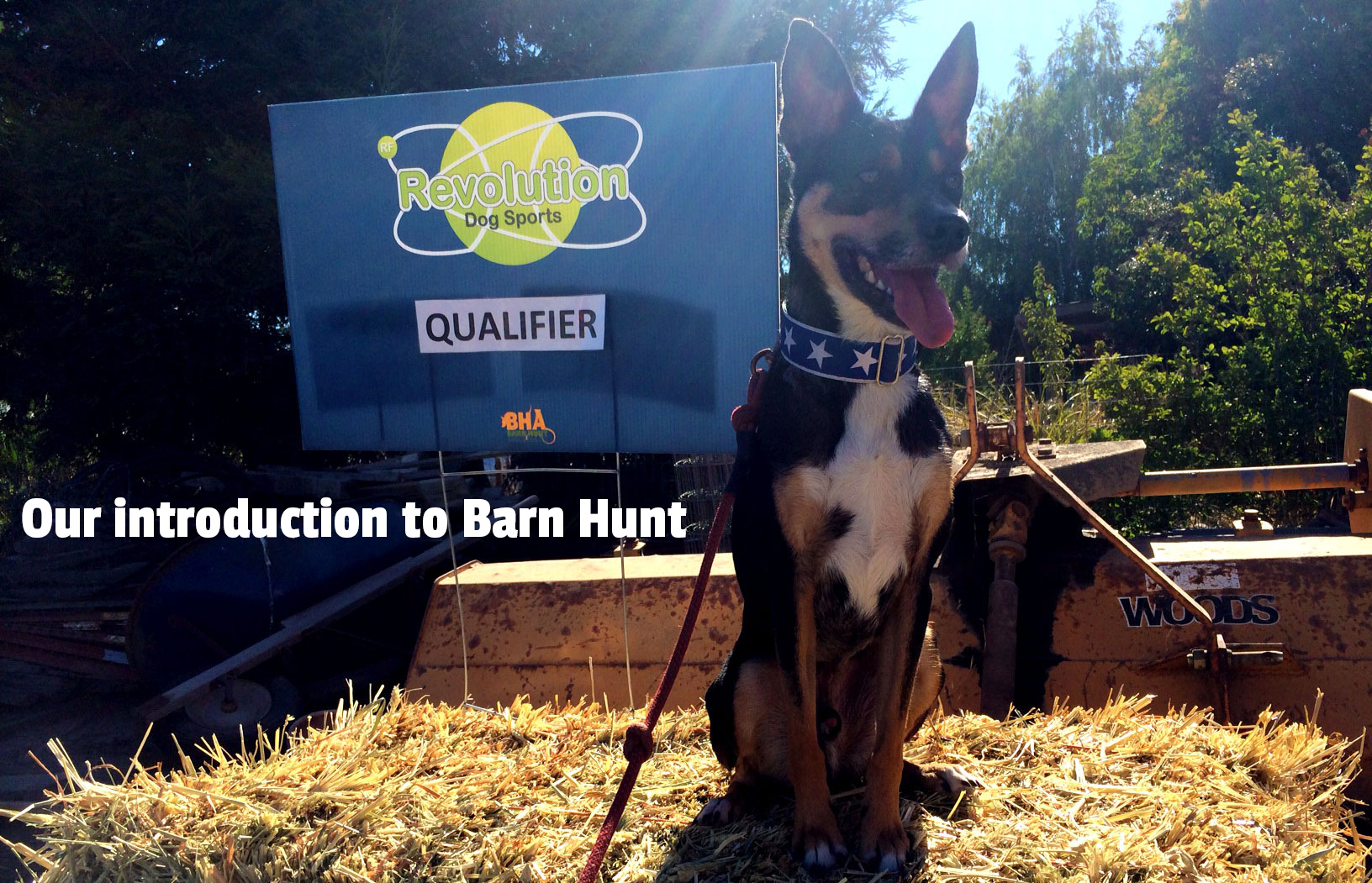 Our introduction to and observations about Barn Hunt: Training Tips Tuesday