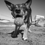 Mort the dog with a ball at Ocean Beach in San Francisco, CA