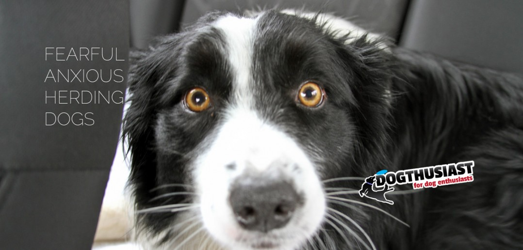 Fearful anxious herding dogs - dog behavior questions