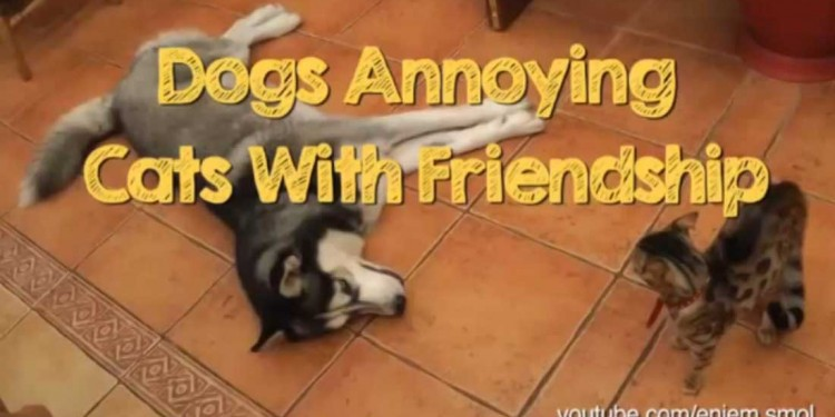 Watch Dogs Annoying Cats With Their Friendship DOGthusiast For - Dogs annoying cats with friendship