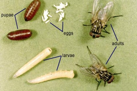 flies-house-fly-life-cycle-pest-cemetery