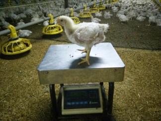 menimbang ayam