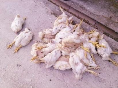ayam mati mendadak apa flu burung