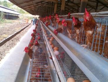tips sukses ayam petelur