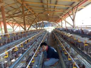 kisah sukses peternak ayam petelur