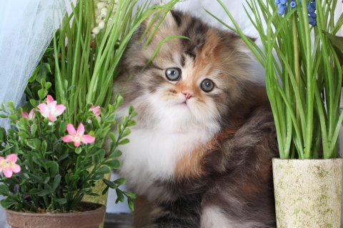 Cute Wallpapers We Heart Calico Tabby Persian Kitten For Sale Doll Face Calico