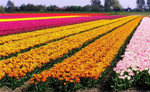 Dutch_Tulip_Fields_I_by_aidavdbrake