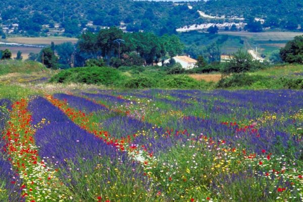 Provence_Lavender-fields-in-Provence-region_3141
