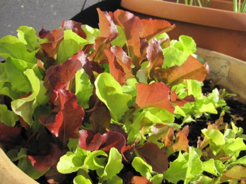 salad garden planter