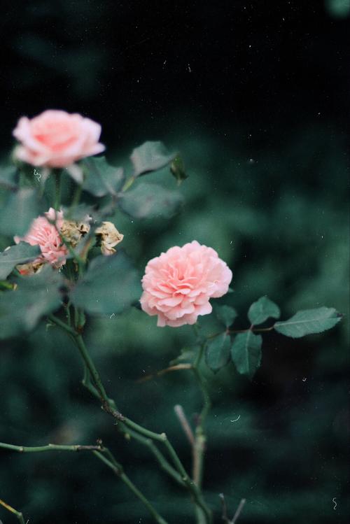 Falling Weed Wallpaper صور ورد من تجميعي Flower Gif منتديات درر العراق