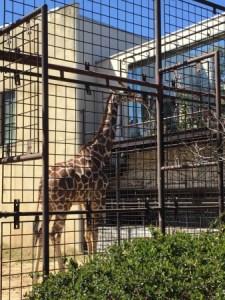 王子動物園のキリン