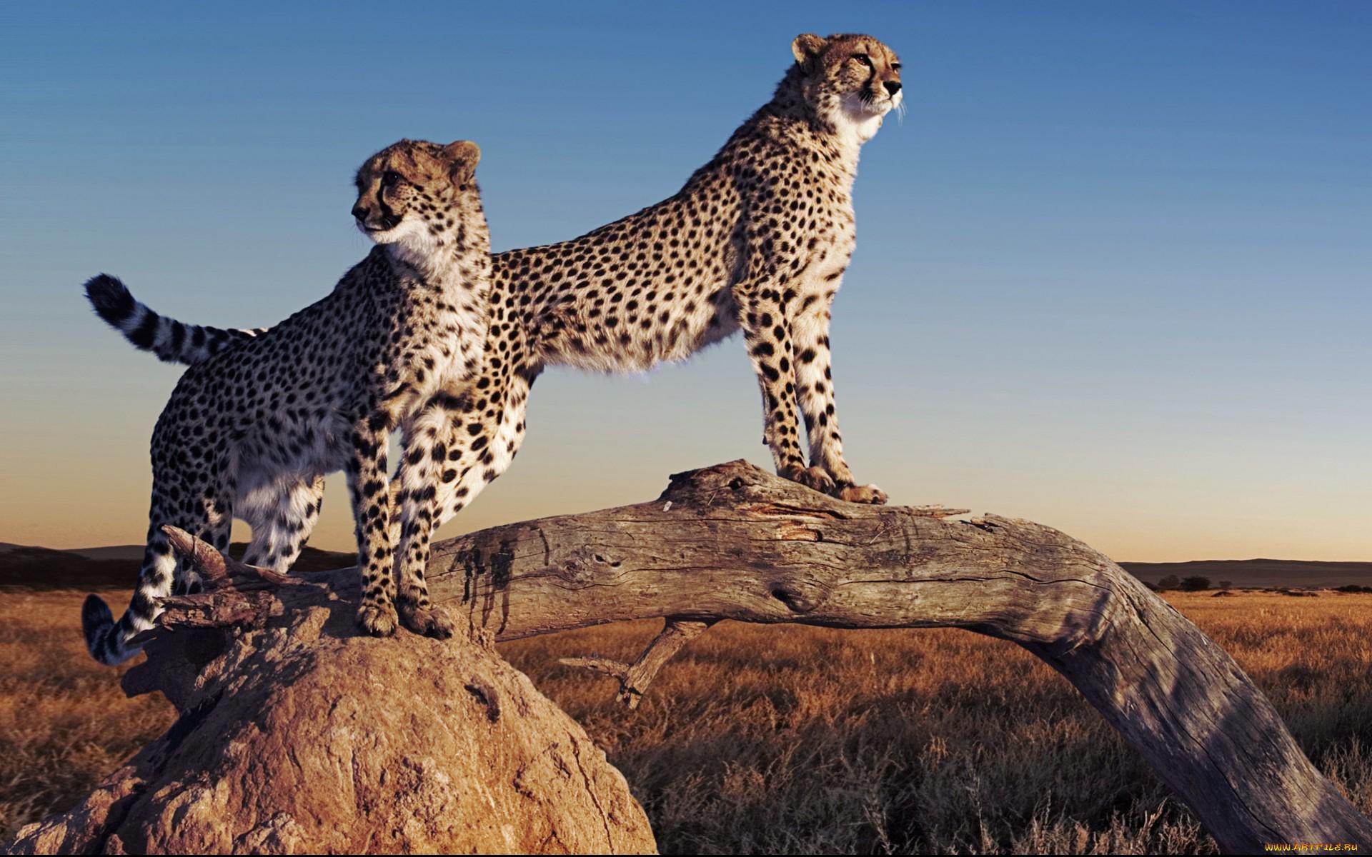 3d Wallpaper For Laptop Full Screen Cheetah Wallpaper
