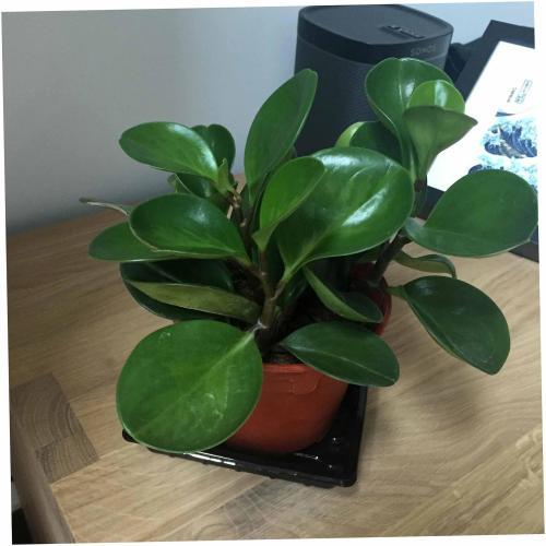 Medium Crop Of Baby Rubber Plant