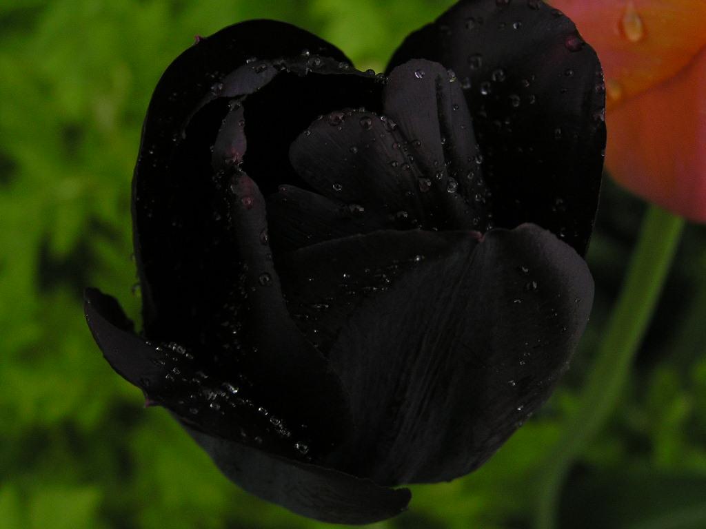 Dark Black Wallpaper Hd Black Tulip Beautifully Pictured On Digital Photo Club