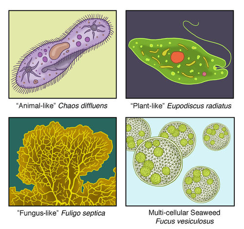 Protist Classification - Advanced CK-12 Foundation - protista examples