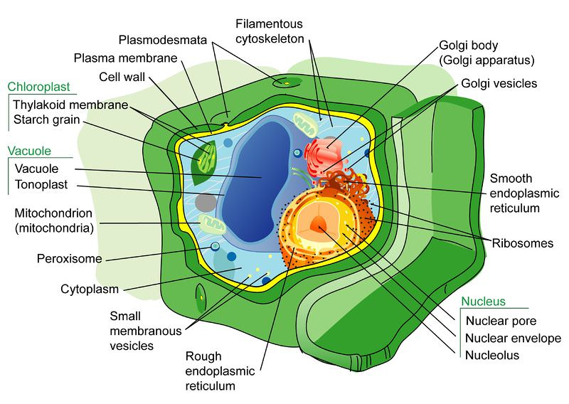Plant Cell Structure ( Read ) Biology CK-12 Foundation