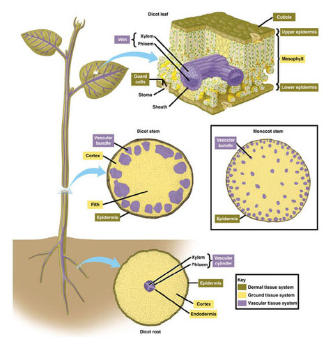 Types of Plant Tissues CK-12 Foundation