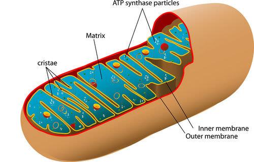 Cellular Respiration Process ( Read ) Biology CK-12 Foundation