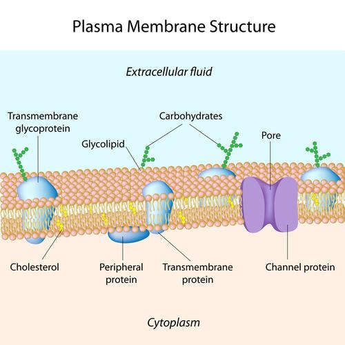 Cell Transport ( Read ) Biology CK-12 Foundation