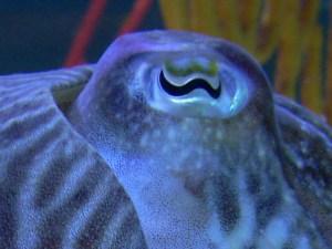 Cuttlefish_eye